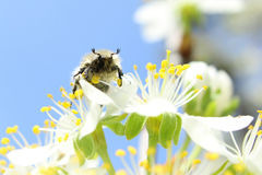 On a sunny day the bee drinks nectar stock photography