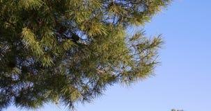Sunny day blue sky pine tree close up 4k spain stock video footage