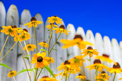 Sunny Day - Bright Yellow Daisies Royalty Free Stock Photos