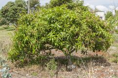 Julie Mango Tree With Blossoms And Fruits royalty free stock images