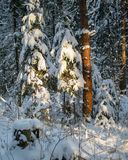 A Sunny day in the Christmas forest. The rays of the winter sun breaking through the branches of trees Christmas forest Royalty Free Stock Photos