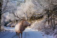 Sunny day at Christmas and red deer Stock Photos