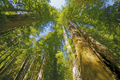 Sunny Day dans les séquoias Photographie stock