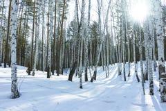 Sunny Day in de Bomenbos van de de Winterberk stock fotografie