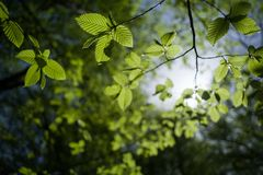 Sunny day in the deciduous forest. Branches of common hazel, illuminated by sunlight. Selective focus royalty free stock images