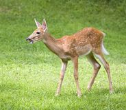 Sunny day fawn Royalty Free Stock Photos