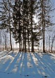 Sunny day in February. Long shadows on the snow. The trees and spruce. Royalty Free Stock Photo
