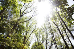 Sunny day in the forest. A ray of sunlight in the trees. Sunny day in the forest. Blue sky and the sun in the leaves of trees Stock Photography