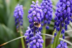 The bee is working on blue flowers in the garden royalty free stock photo