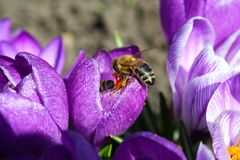 Sunny day in the garden, the bee is working on a purple crocus royalty free stock photos