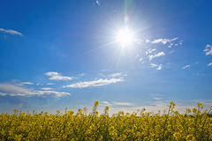 Sunny day. And glowing sunlight on a rape field Stock Photo
