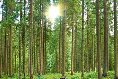 A sunny day in green forest Royalty Free Stock Photo
