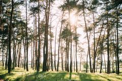 Sunny day in green summer forest with pine trees stock photos