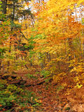 Sunny day in maple forest. In october Royalty Free Stock Photos