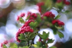Sunny day in may. Blumen rosa Weißdorn in den Strahlen der Mai-Sonne stock images