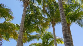 Sunny day miami palm tops wind moving 4k florida usa. Usa sunny day miami palm tops wind moving 4k florida stock video