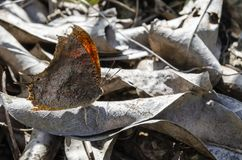 Dry Leaf Butterfly Among Leaves royalty free stock image