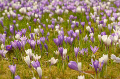 Sunny day over a crocus field Royalty Free Stock Images