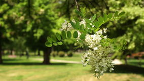 Sunny day in park-Unrecognizable people in the background. Sunny day in a city park-Selective focus on black locust branch stock video footage