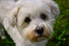 Cute little Maltese dog named tyke royalty free stock photo