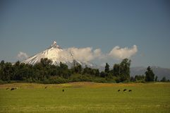 Sunny day and Puntiagudo-Cordón Cenizos volcano Lake District, southern Chile. Cows and trees in front. Snow covered volcano. Patagonia, Chile stock photography