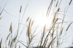 Sunny day rays. The beautiful  sun-rays  passing through the grass in the morning in a field Royalty Free Stock Photos
