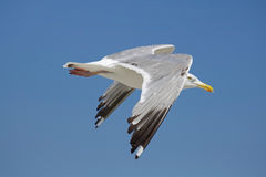 Sunny Day Seagull Royalty Free Stock Images