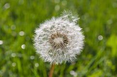 Sunny day with shiny shaggy dandelion Royalty Free Stock Photo