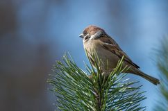 A Sparrow on a top of a Pine tree Stock Photography