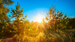 Sunny Day In Summer Sunny Coniferous Forest Trees Stock Images