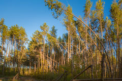 Sunny Day In Summer Sunny Forest Trees conífero Imagenes de archivo
