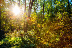 Sunny Day In Summer Sunny Forest Trees. Nature Royalty Free Stock Images