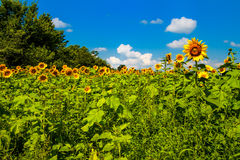 Sunny Day Sunflowers Royalty Free Stock Photos
