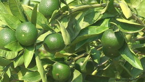 Sunny day, Trees of green lemons, tropical garden stock footage