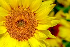 Bright and glowing sunflower close up. royalty free stock photography