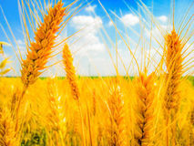Sunny day with wheat field royalty free stock photos