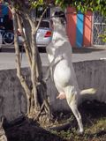 White Town Goat Stretch To Feed. On a sunny day, white ewe goat with dark spotted head, standing on her two back feet, stretches up in the shadows, towards the stock images