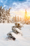 Sunny day in winter. Carpathian mountains royalty free stock photo