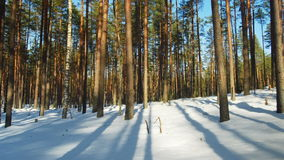 Sunny day in winter forest. Time lapse shoot of winter forest stock footage