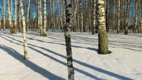 Sunny day in winter forest. Time lapse shoot of  moving shadows from trunks of trees in winter forest stock video
