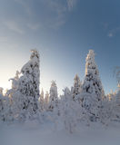 Sunny day in winter forest, ural mountains, winter forest, russian natu Royalty Free Stock Photo