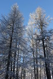 Sunny day in Winter season: Tree covered with snow Royalty Free Stock Images