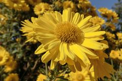 Yellow daisy in New Territories in Hong Kong. In a sunny day, Yellow daisy in New Territories at Hong Kong stock photos
