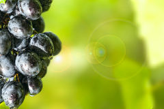 Sunny, dewy grapes. Stock Photo