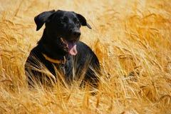 A sunny dog Stock Photography