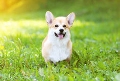 Sunny dog Welsh Corgi Pembroke Royalty Free Stock Photo