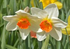 Sunny duo of narcissus Royalty Free Stock Images