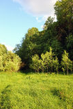 Sunny edge of a deciduous russian forest with green grass and te. Nder young trees at summer Stock Photo