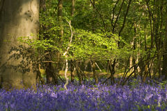 Sunny evening in a bluebells Stock Photo
