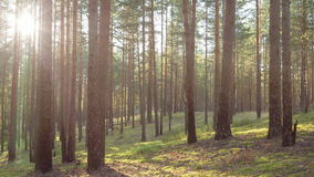 Sunny evening in pine forest stock video